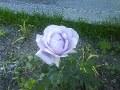 синя троянда