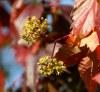 Цветы и плоды дикого винограда