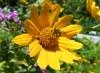 Пчела - гайлардия