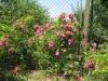 Плетюча троянда
