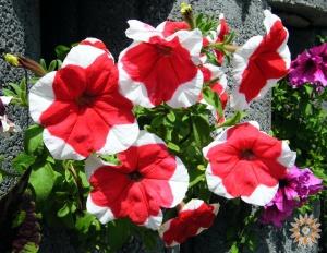 Пітунія садова